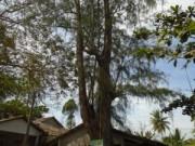 Tin tức - Chuyện lạ: Cả làng 'trúng số' dưới tán cây dương