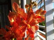 Nhà đẹp - Hàng trăm giò hoa núi rừng khoe sắc thắm giữa lòng TP.HCM