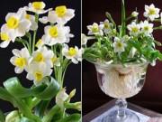 Nhà đẹp - Bí quyết ép hoa thủy tiên nở đúng đêm Giao thừa