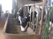 Tin tức - Lâm Đồng: Người chăn nuôi đem sữa đổ đầy đường