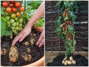 Cây cảnh - Vườn - Trồng cà chua gốc khoai tây cho 500 trái một mùa