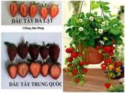 Cây cảnh - Vườn - Chọn đúng dâu tây Đà Lạt trồng giò treo trong vườn nhà