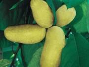 Ẩm thực độc đáo - Dân Mỹ phát sốt với giống chuối hình xoài