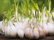Nhà đẹp - Bí quyết trồng và giữ tỏi tươi lâu hàng tháng trời