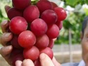 Bếp Eva - Nho to bằng quả chanh có giá hơn 4 triệu đồng