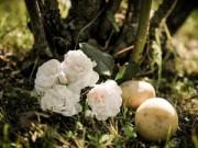 Nhà đẹp - 1 tuần trồng hồng lớn nhanh, hoa nhiều nhờ khoai tây