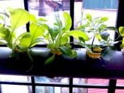 Cây cảnh - Vườn - Hà Nội: Mẹ quyết tâm trồng rau sạch nuôi con ăn dặm