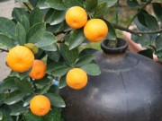 Cây cảnh - Vườn - Quất bonsai tiền triệu cho dân sành điệu mê cây
