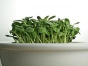 Cây cảnh - Vườn - Hai tuần trồng rau mầm hướng dương beo béo, giòn giòn