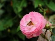 Nhà đẹp - Hồng tỉ muội đắt hàng dịp giáp Tết