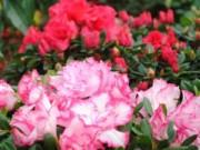 Cây cảnh - Vườn - Đỗ quyên: hoa tài vận, giá bình dân hút khách