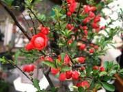 Nhà đẹp - Mai đỏ bày bàn, khoảng trăm ngàn một cây