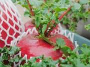 """Cây cảnh - Vườn - Phát sốt với củ cải đỏ rước """"của cải"""" vào nhà"""