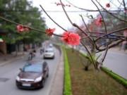 Tin trong nước - Ngắm con đường hoa đào 'độc nhất' giữa Thủ đô