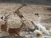 Clip Eva - Linh dương giả chết lừa báo và linh cẩu ngoạn mục