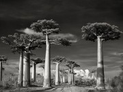 Xem & Đọc - Những cây cổ thụ ngàn tuổi vĩ đại nhất thế giới