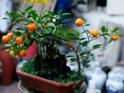"""Mua sắm - Giá cả - """"Điểm mặt"""" những cây cảnh bonsai hút tiền dịp Tết Ất Mùi"""