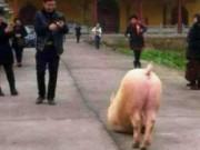 Tin tức - Kỳ lạ lợn biết quỳ gối, vái trước cửa đền