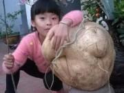 Tin tức - Choáng với củ đậu nặng 21kg ở Hà Nội