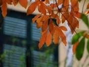 Tin tức - Hà Nội đẹp lãng mạn mùa lộc vừng thay lá