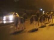 Clip Eva - Hà Nội: Đàn ngựa phi nước đại gây náo loạn đường Giải Phóng