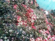 """Tin tức - Sau 8-3, hàng tấn hoa hồng thành """"núi"""" rác"""