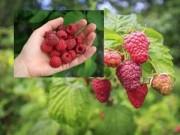 Cây cảnh - Vườn - Trồng mâm xôi đơn giản cho trái ngọt mùa hè