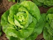 Sức khỏe - Ăn rau xà lách thế nào để tốt cho sức khỏe?