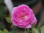 Nhà đẹp - Trồng và chăm sóc hoa hồng đơn giản ngay tại nhà
