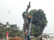 Tin tức - Hà Nội: Loạt cây cổ thụ đường Láng chính thức bị đốn hạ