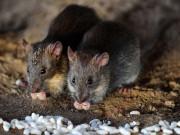 Tin tức - Mexico: Mẹ đi dự tiệc, bé 4 tháng tuổi bị chuột cắn chết
