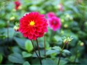 Tin tức - Ngắm vườn hoa thược dược rực hồng ở Tây Tựu