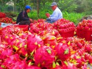 Mua sắm - Giá cả - Thương lái Trung Quốc ồ ạt mua bông thanh long