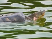 Họ hàng rùa Hồ Gươm đang ở đâu?