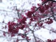 Nhà đẹp - Ngắm hoa anh đào Nhật Bản khoe sắc trong mưa lạnh buốt ở Sapa