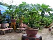 """Nhà đẹp - Đu đủ bonsai """"đếm quả ra tiền"""" hút khách dịp Tết"""