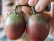 Nhà đẹp - Cà chua đen chocolate 180.000 đồng/kg được săn lùng