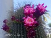 Nhà đẹp - Xương rồng Nam Mỹ khổng lồ trên đất Tây Đô
