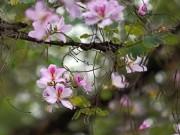 Tin tức - Hà Nội tím rợp trời mùa hoa ban nở