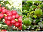 Mua sắm - Giá cả - Lại chặt cà phê, trồng chanh để bán cho Trung Quốc
