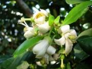 Sức khỏe - Tác dụng ít ngờ tới của hoa bưởi