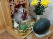 """Nhà đẹp - Những chú mèo thích trèo bàn thờ """"buôn hoa quả"""""""