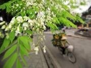 Tin tức - Hà Nội đẹp ngỡ ngàng mùa hoa sưa nở