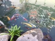 Cao Thái Sơn khoe hồ cá mới to như bể bơi
