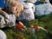 Nhà đẹp - Cá chép Koi nhả ngọc phun châu, tiền vô như nước