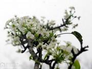 Nhà đẹp - Ngỡ ngàng sắc hoa lê trên phố Hà thành
