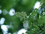 Hà Nội xao xuyến mùa hoa sấu đầu hè