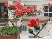 """Nhà đẹp - Ngắm cây gạo """"nhí"""" nở hoa khiến dân chơi bonsai mê mẩn"""