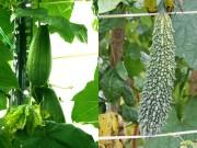 Nhà đẹp - Ông bố trẻ trồng rau sạch cho vợ ngắm, con xơi