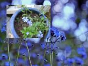 Nhà đẹp - Nàng trồng hoa 'Xin đừng quên em' mong tình yêu chung thủy